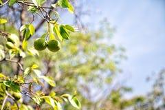 Pequi owoc od Brazylijskiej sawanny zdjęcie stock