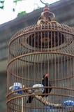 Pequim Starling Bird fotos de stock royalty free