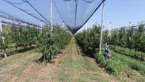 Período da câmera através das fileiras das árvores de maçã no pomar moderno, 4k filme