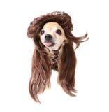 Perückeschwinghund stockbild