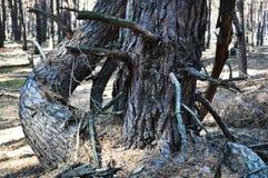 Per het bos van de dagpijnboom stock foto's