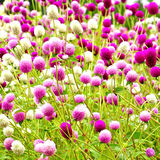 perłowi wiecznotrwali kwiaty Obrazy Royalty Free