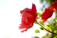 Per sempre Rosa Immagini Stock
