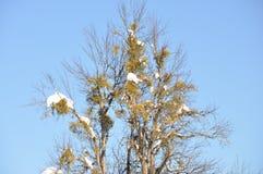 Pera antica dell'albero 200 anni di Ð di aucasus del ¡ Immagini Stock Libere da Diritti
