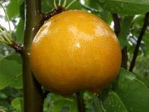 Pera asiatica - giorno piovoso Fotografia Stock