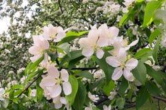 Pera che splende i fiori delicati Fotografie Stock Libere da Diritti