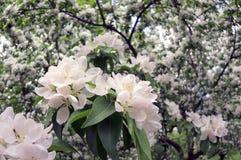 Pera che splende i fiori delicati Fotografia Stock Libera da Diritti