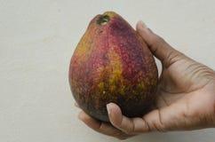 Pera de abacate à disposição foto de stock royalty free