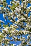 Pera de florescência Imagem de Stock Royalty Free