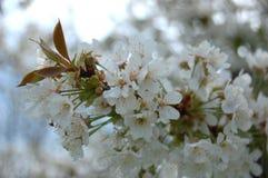 Pera de florescência Foto de Stock Royalty Free