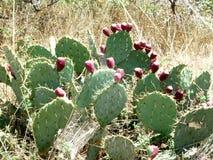 Pera de la Opuntia del cactus con las bayas espinoso fotografía de archivo