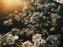 Pera della primavera Immagine Stock