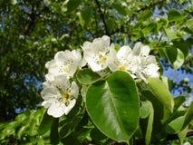 Pera delle fioriture Fotografia Stock