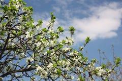 Pera di fioritura fotografie stock libere da diritti