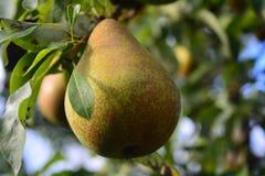 Pera do fruto Foto de Stock