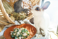 Pera ed insalata della rucola con i pinoli vicino al bello coniglio bianco Fotografia Stock
