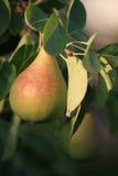 Pera em uma árvore Foto de Stock Royalty Free