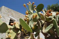 A pera espinhosa é o fruto de um cacto Resulta de México Suas contribuições nutritivas são fonte de bem estar Imagem de Stock