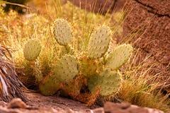 Pera espinhosa Cactus-3 Imagens de Stock