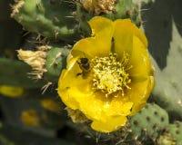 Pera espinhosa e abelha Imagem de Stock