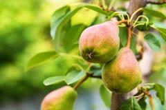 Pera europeia ou pera comum no ramo de árvore Foto de Stock