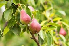 Pera europeia ou pera comum no ramo de árvore Imagem de Stock