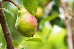 Pera europeia ou pera comum no ramo de árvore Fotografia de Stock Royalty Free