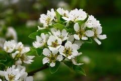 Pera floreciente Fotos de archivo