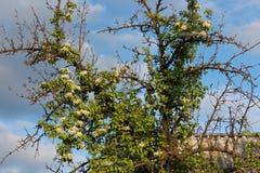 Pera floreciente Resorte hermoso Primavera Imagenes de archivo