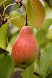 Pera fra le foglie Fotografie Stock