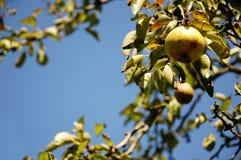 Pera fresca que pendura da árvore.   Foto de Stock Royalty Free