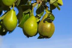 A pera frutifica em um ramo contra o céu Fotografia de Stock