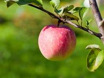 Pera madura na árvore no pomar de fruto Fotos de Stock