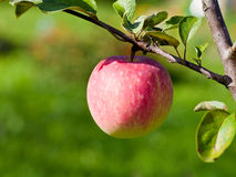 Pera matura sull'albero nel frutteto di frutta Fotografie Stock