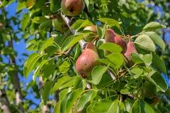 Pera na árvore Fotografia de Stock