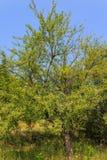 Pera no jardim Foto de Stock