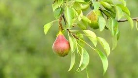 Pera para la sidra en un árbol