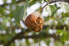 Pera putrefacta en el árbol Foto de archivo libre de regalías