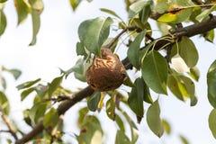 Pera putrefacta en el árbol Imagenes de archivo