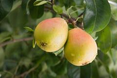 Pera su un ramo in un frutteto Immagine Stock Libera da Diritti