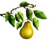 Pera sul ramo di albero Immagini Stock Libere da Diritti