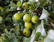 Pera verde en la rama del árbol Foto de archivo libre de regalías