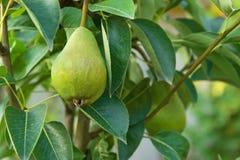 Pera verde en un árbol Fotos de archivo