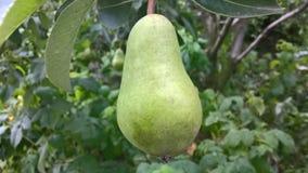 Pera verde nell'albero Immagini Stock