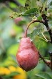 Pera vermelha molhada no ramo com folhas Imagem de Stock Royalty Free