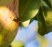 Pera y abeja verdes Foto de archivo libre de regalías