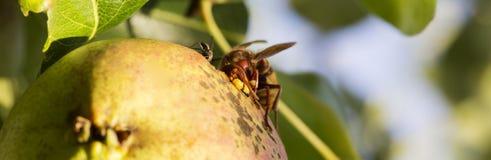 Pera y abeja verdes Fotos de archivo