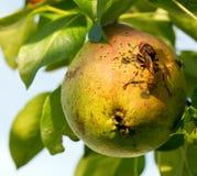 Pera y abeja verdes Fotografía de archivo libre de regalías