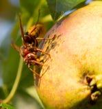 Pera y abeja verdes Imagen de archivo libre de regalías