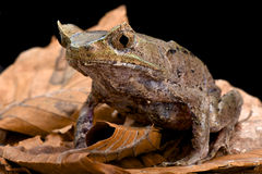 Perak horned toad (Megophrys aceras) Stock Photography